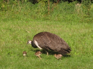 Three baby peacocks with peahen